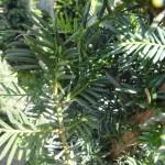 Taxus baccata, heimische Eibe, Nadeldetails