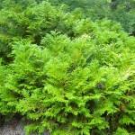 Thujopsis dolobrata - Hiba-Lebensbaum, Wuchs (in jungen Jahren)