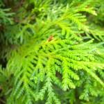 Thujopsis dolobrata - Hiba-Lebensbaum, Zweige von oben