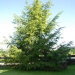 Tsuga canadensis - Hemlockstanne