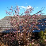 Wuchs vom Viburnum bodnantense Dawn, Winterduftschneeball