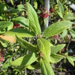 Viburnum rhytidophyllum - runzelblättriger Schneeball, Detail Blatt