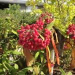 Viburnum rhytidophyllum - runzelblättriger Schneeball, Früchte, Fruchtstand, rote Beeren