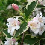 rosa Blüte der Weigelia