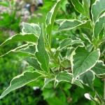 Weigelia variegata - weißbunte Weigelie