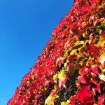 Wilder Wein an Mauer, leuchtend rote Herbstfärbung