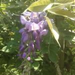 Wisteria sinensis - Blauregen, Glyzine