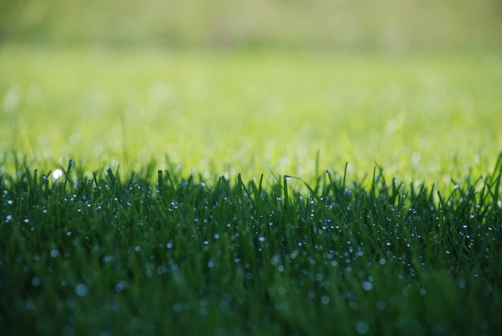 Rasenfläche mit Morgentau