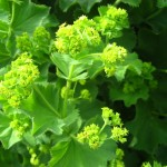 Alchemilla mollis - Detail Blüte