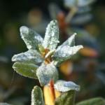 Azalea - Gartenazalee