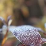 Gartenazalee, Blattdetail