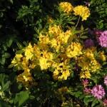 gelbblühende Azalea