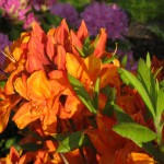 orange blühende Azalea