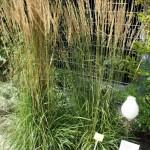 Calamagrostis acutiflora Karl Förster