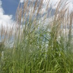 Calamagrostis acutiflora Karl Foerster - Reitgras,