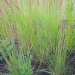 Calamagrostis acutiflora im Beet