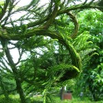 Cryptomeria japonica - Sicheltanne, Detail