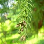 Cryptomeria japonica - Sicheltanne