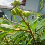 Exochorda racemosa - Prunkspiere