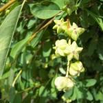 Exochorda racemosa - Detail Frucht