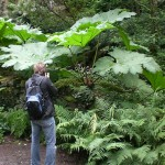 Gunnera manicata  - Mammutblatt, Größenvergleich