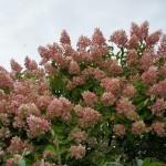 Hydrangea paniculata Grandiflora - Rispenhortensie