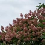 Rispenhortensie Grandiflora