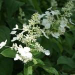 weiße Blütenrispe von Hydrangea paniculata Grandiflora