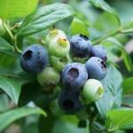 blaue Früchte der riesengroßen Gartenheidelbeere
