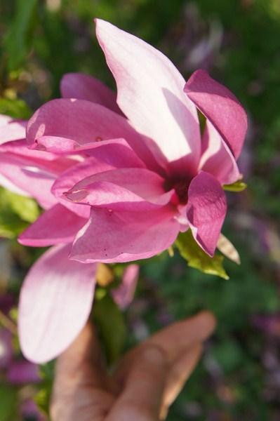 lilienblütige Magnolia - Magnolia liliflora