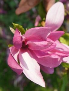 Magnolia liliflora - lilienblütige Magnolie