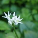 Blüte des Bärlauch