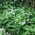 Bärlauchbeet in Blüte