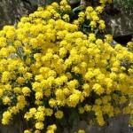Steinbrech in voller Blüte