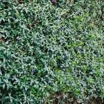 Beetfläche mit Bodendecker Vinca bewachsen