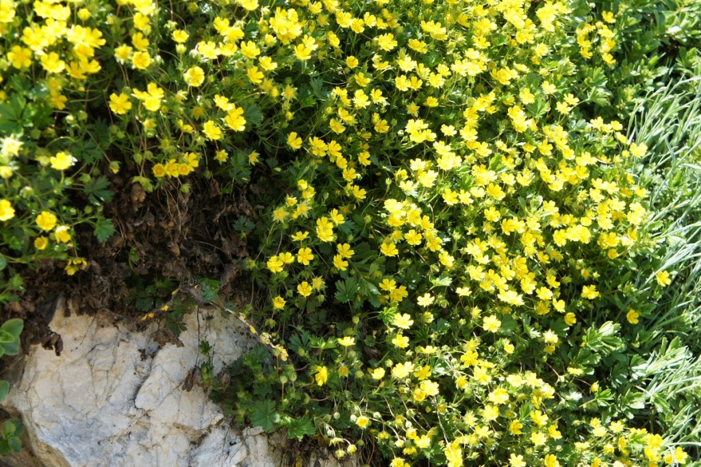Waldsteinia ternata - Golderdbeere, Waldsteinie