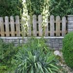 Wuchs der Palmlilie