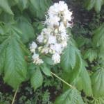 Aesculus hippocastanum, Roßastanie während der Blüte