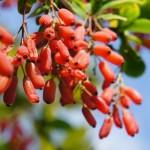 Berberis vulgaris - heimische Berberitze, reich fruchtend