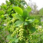 Berberis vulgaris - gemeine Berberitze