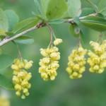 Berberis vulgaris, gemeine Berberitze, Blütendetails: gelbe Trauben