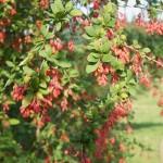 Berberis vulgaris - heimische Berberitze, rote Früchte