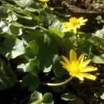 Ficaria verna (Syn Ranunculus ficaria L) - (Frühlings-) Scharbockskraut, Feigwurz,