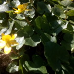 Ficaria verna (Syn Ranunculus ficaria L.) - Scharbockskraut, Feigwurz, Frühlingsscharbockskraut