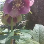 Helleborus niger - Schneerose, Christrose, lila Blüte
