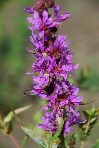 Lythrum salicaria - Weiderich