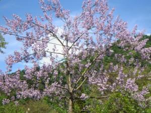 Paulownia tomentosa - Blauglockenbaum, Paulownie in voller Blüte