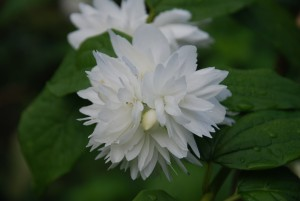 Philadelphus Bouquet Blanc - gefüllter Pfeifenstrauch Blütendetail