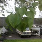 Pyrus communis, Birne, Blüte und Laub eines alten Baumes