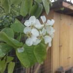 Pyrus communis, Birne während der Blüte